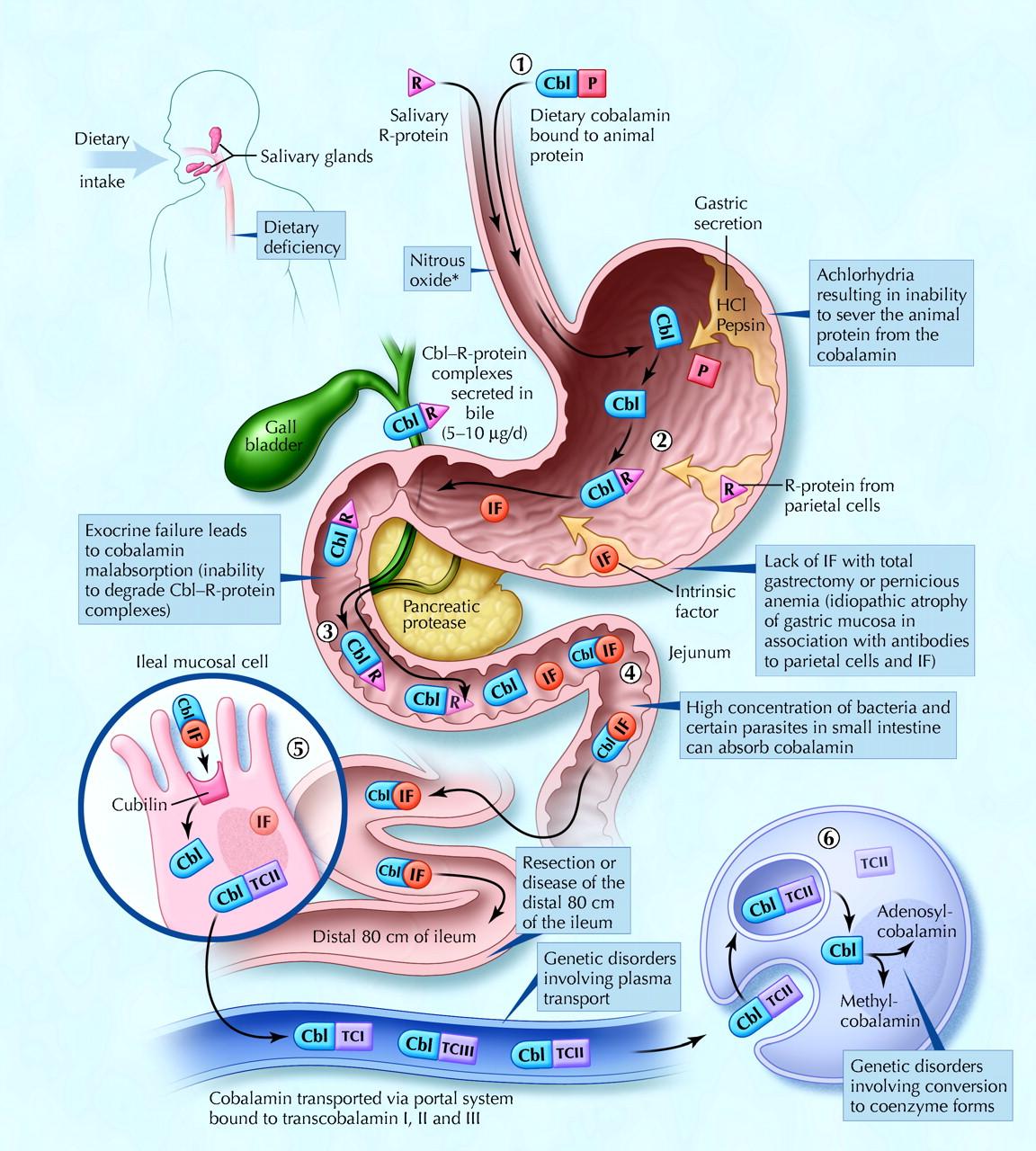 Vitamin-B12-absorption