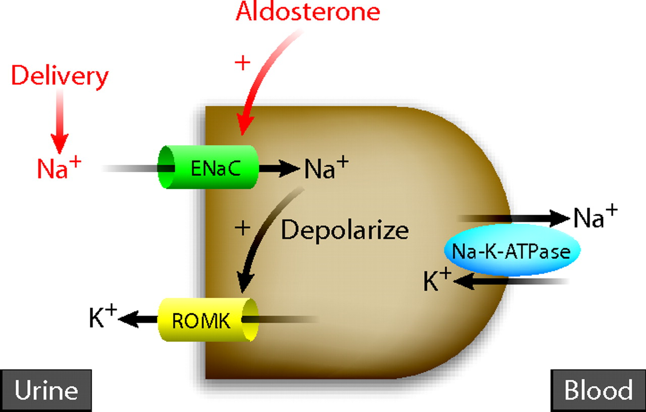 Renal-Outer-Medullary-Potassium-ROMK